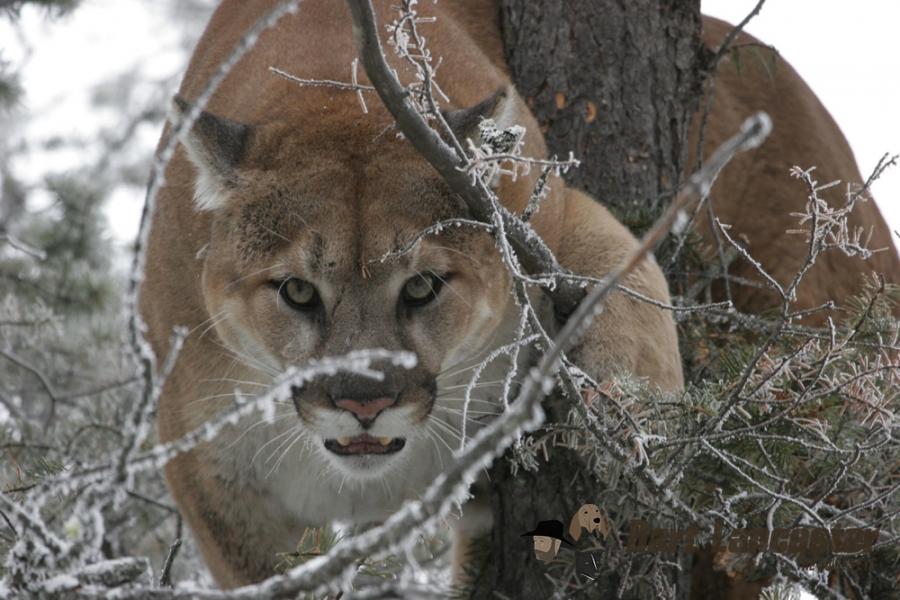 Three Cat Predator Hunt (Cougar 062fa0cd9